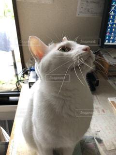 猫,動物,白猫,見つめる
