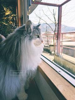 ウィンドウの前に立っている猫の写真・画像素材[1271731]