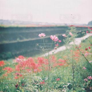 自然,風景,空,花,秋,コスモス,彼岸花