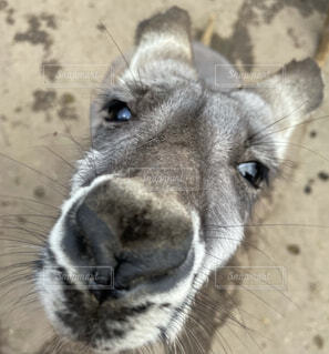 動物,屋外,かわいい,目,見つめる,カンガルー,鼻面