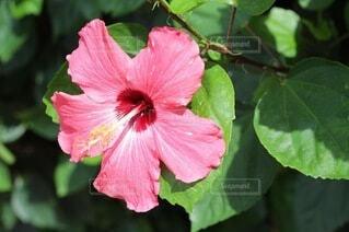 花,屋外,緑,植物,ハイビスカス,葉,草木,フローラ,ハワイアンハイビスカス