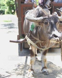 牛が通りに立っているの写真・画像素材[4154225]