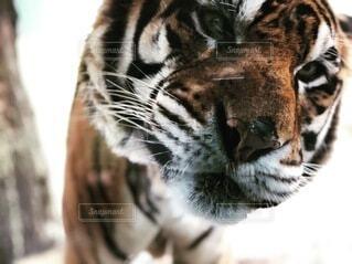 虎のクローズアップの写真・画像素材[4154238]