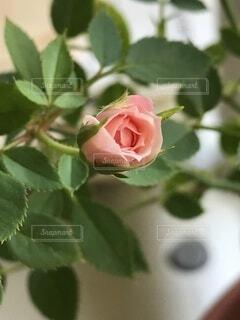 花,屋内,バラ,薔薇,草木