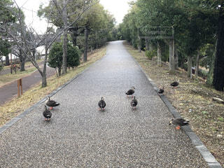 道路の脇に立っている鴨の群れの写真・画像素材[4160077]