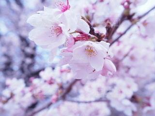 花,春,ピンク,桜の花,さくら,ブルーム,ブロッサム