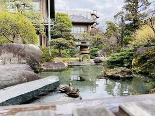 屋外,水面,池,樹木,鴨,石,旅館,草木,ガーデン