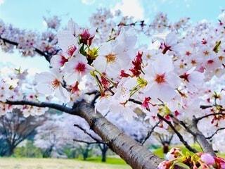 空,花,春,屋外,青空,樹木,草木,ブロッサム