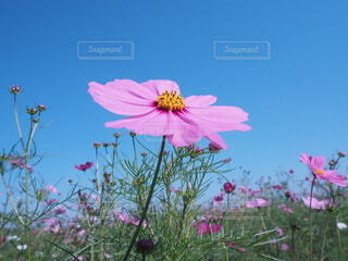 空,花,屋外,コスモス,草木