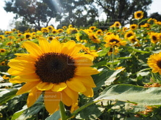 花,屋外,ひまわり,黄色,樹木,カラー,草木,キク目