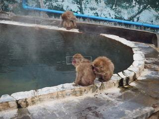 温泉,動物,屋外,親子,水面,仲良し,ほかほか,友達,日本猿