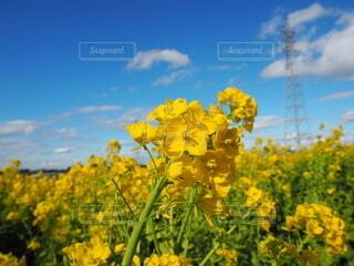 空,花,屋外,黄色,菜の花,草木,マスタード