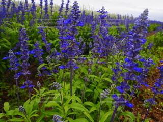 花,屋外,紫,北海道,景色,ラベンダー,樹木,富良野,草木,ガーデン,ワイルドフラワー,フローラ
