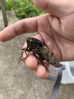 夏,動物,人物,人,昆虫,セミ