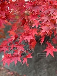 秋,紅葉,赤,葉,樹木,草木,メープル,カエデ,カエデの葉,シルバーメープル