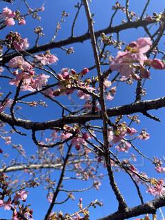 空,花,春,屋外,青い空,樹木,座る,草木,桜の花,さくら,ブルーム,腰掛け,ブロッサム,支店