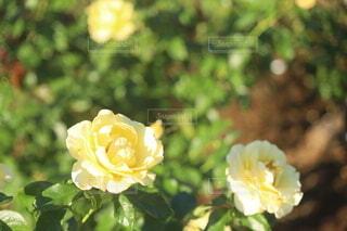 黄色のバラの写真・画像素材[4964356]