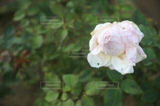 ピンクのバラの写真・画像素材[4964357]