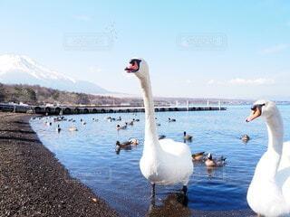 風景,空,冬,動物,富士山,鳥,湖,白,青空,青,水面,山,爽やか,おしゃべり,白鳥,鴨,野鳥,カモ,水鳥,かも,澄んだ