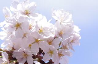 空,花,春,桜,景色,光,草木