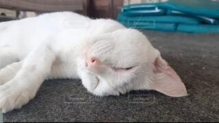 猫,動物,屋内,白,かわいい,昼寝,ペット,寝る,癒し,可愛い,熟睡,ネコ,猫好き,バリ猫