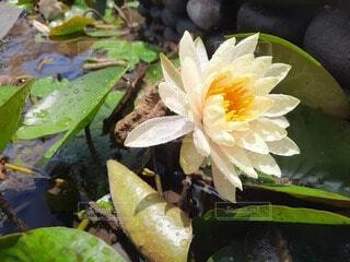 自然,花,庭,綺麗,水面,池,ガーデニング,美しい,蓮,花壇,草木,鉢,水生植物,ポット,ガーデン,ハス,フローラ