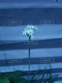 花,青,はな,小さな花,ニラ,ニラの花