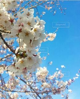 空,春,屋外,青い空,樹木,草木,桜の花,さくら,ブロッサム