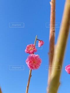 空,花,ピンク,青空,香り,紅梅,紅い,快晴背景