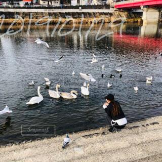 鳥,屋外,川,水面,白鳥,鴨