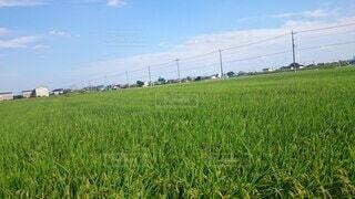 空,屋外,緑,草原,雲,景色,水田,草,農業,作物,草木,ファーム,商品作物