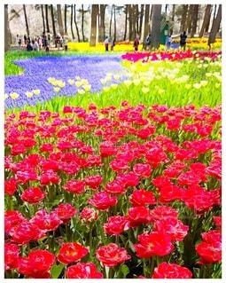 カラフルな春の花畑にあるチューリップとムスカリの写真・画像素材[4161510]