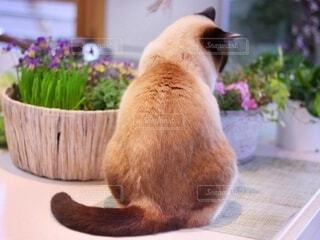 キッチンテーブルの上に座っている猫の写真・画像素材[4171432]