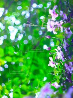 自然,花,庭,屋外,ピンク,葉っぱ,木漏れ日,グリーン,野外,クレマチス,ツル,草木,ガーデン
