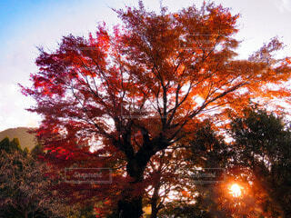 秋,紅葉,屋外,葉,オレンジ,樹木,落葉,草木