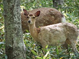 自然,動物,野生動物,屋外,森,草原,林,北海道,樹木,新緑,鹿,知床,アニマル,野生,animal,子鹿,エゾシカ,しか,dear