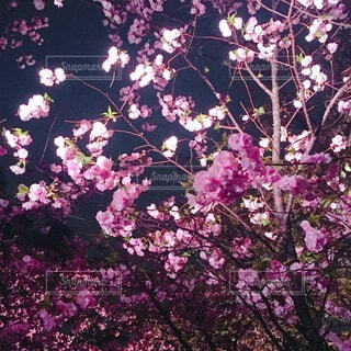 花,春,桜,夜景,紫,夜桜,樹木,草木,ブルーム,ブロッサム