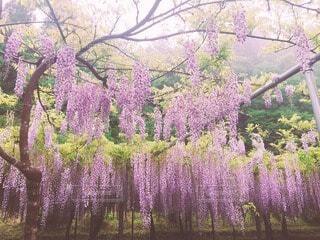"""""""紫に染めて""""の写真・画像素材[4171179]"""