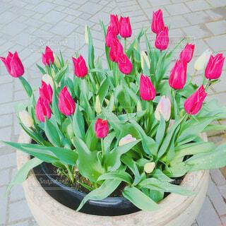 """""""tulip""""の写真・画像素材[4230932]"""