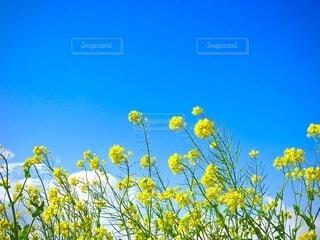 自然,花,青い空,黄色,菜の花,草木,広葉