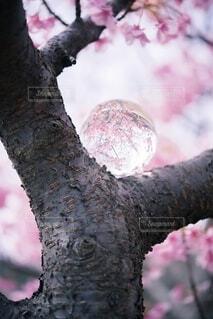 ガラス玉の世界(桜)の写真・画像素材[4163179]