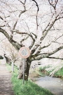 桜と標識の写真・画像素材[4163211]