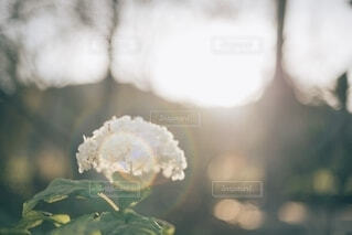 季節外れの紫陽花の写真・画像素材[4164250]