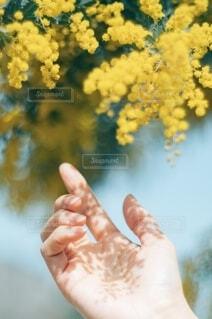 ミモザの影の写真・画像素材[4296440]
