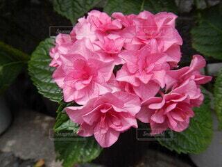 風景,花,植物,バラ,景色,お花,薔薇,紫陽花,草木,フローラ