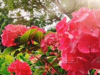 花,ピンク,植物,赤,お花,樹木,紫陽花,草木,ガーデン,フローラ