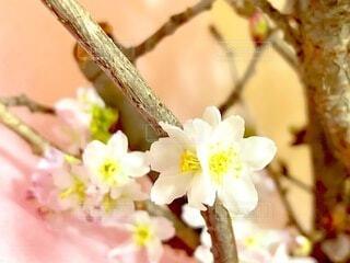 春,桜,可愛い,草木,桜の花