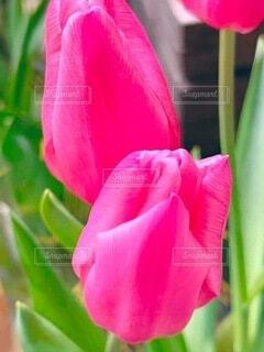 花,ピンク,赤,お花,チューリップ,草木,フローラ