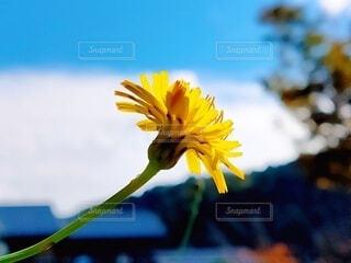 自然,空,花,黄色,お花,癒し,元気,たんぽぽ,草木,蒲公英,タンポポ,1輪,フローラ