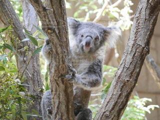 動物,動物園,コアラ,笹